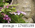 石仏 紫陽花 花の写真 17485199