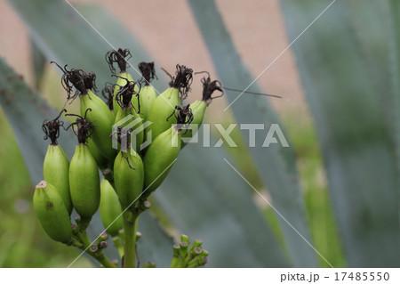 アオノリュゼツランの花後 17485550