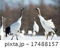 鶴 タンチョウ 二羽の写真 17488157