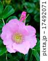 バラ科 落葉低木 ハマナスの写真 17492071