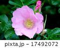 バラ科 落葉低木 ハマナスの写真 17492072