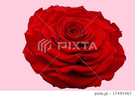 1輪の赤いバラ 背景色ピンク 17495467