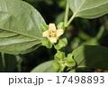 柿 花 植物の写真 17498893