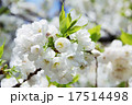 シロタエ(白妙、サトサクラ/バラ科) 17514498