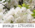 シロタエ(白妙、サトサクラ/バラ科) 17514501