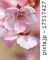 桜の花 17517427