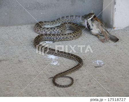スズメを食べる蛇 17518727