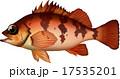 アカメバル ベクター 魚のイラスト 17535201