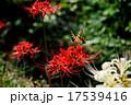 彼岸花とアゲハ蝶 17539416