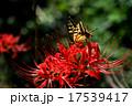 彼岸花アゲハ蝶 17539417