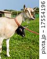 山羊 17554196