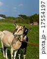 山羊 17554197
