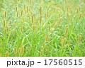 エノコロ草 ねこじゃらし 草の写真 17560515