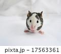 パンダマウス ジャパニーズマウス ハツカネズミ 白黒 ペット 干支 mouse 17563361