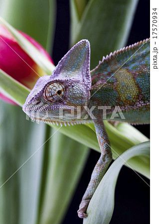 Chameleon, bright vivid exotic climate