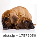 横たわる わんこ 犬の写真 17572050