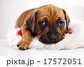横たわる わんこ 犬の写真 17572051