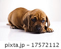 横たわる わんこ 犬の写真 17572112