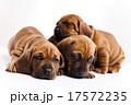 ペット 愛玩動物 わんこの写真 17572235
