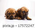 Puppies amstaff,dachshund, beautiful bright pet  17572247