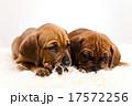 ペット 愛玩動物 わんこの写真 17572256