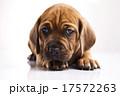 横たわる わんこ 犬の写真 17572263