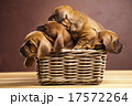 ペット 愛玩動物 わんこの写真 17572264