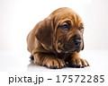 横たわる わんこ 犬の写真 17572285