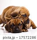 横たわる わんこ 犬の写真 17572286