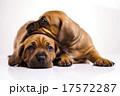 横たわる わんこ 犬の写真 17572287