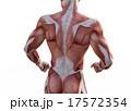 躯 鍛えた 筋肉のイラスト 17572354