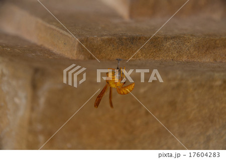 インドに生息するアシナガバチの仲間 17604283