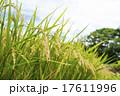 作物 農作物 稲穂の写真 17611996