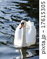 水面を進む白鳥 17615305