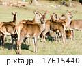 草原の中の野生の鹿 17615440