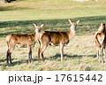草原の中の野生の鹿 17615442