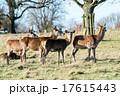草原の中の野生の鹿 17615443