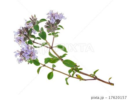 Medicinal plantの写真素材 [17620157] - PIXTA