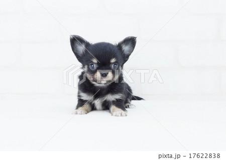 見つめるチワワ仔犬 17622838