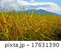 稲 秋 水田の写真 17631390
