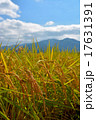 稲 秋 水田の写真 17631391