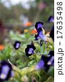 紫の花 トレニア 17635498
