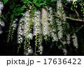 沖縄 さがりばな 17636422
