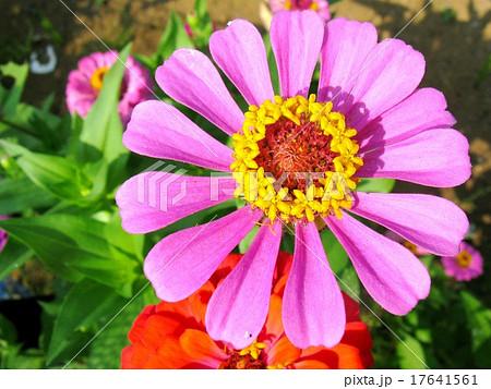 初夏から晩秋まで、長い間咲く 寿命の長い花 17641561