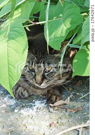 しっかり生きる・沼津市香貫山公園とそこに住まう地域猫のキジトラさん・縦位置 17642671