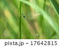 イトトンボ トンボ アジアイトトンボの写真 17642815