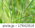 イトトンボ トンボ アジアイトトンボの写真 17642818