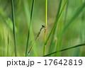 イトトンボ トンボ アジアイトトンボの写真 17642819