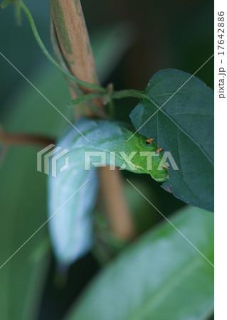 黄色雀蛾 キイロスズメガの幼虫 17642886