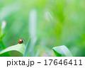 葉の上のテントウムシ ナナホシテントウ 昆虫 小型昆虫 てんとう虫 緑背景 赤い虫 ネイチャー 17646411
